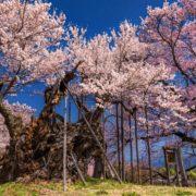 東京都調布市 神代植物公園 桜